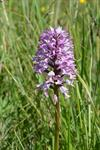 Military Orchid