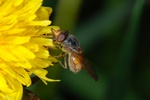 Rhingia campestris photo