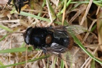 Eristalis intricaria photo