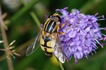 Helophilus trivittatus photo