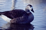 Branta canadensis x Anser sp. photo