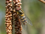 Syrphus torvus photo