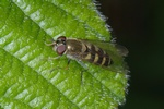 Parasyrphus punctulatus photo