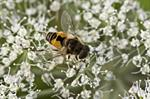 Eristalis arbustorum photo
