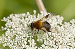 Leucozona inopinata photo
