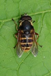 Sericomyia silentis photo