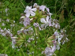 Soapwort (Saponaria officinalis) photo