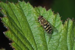 Syrphus vitripennis photo
