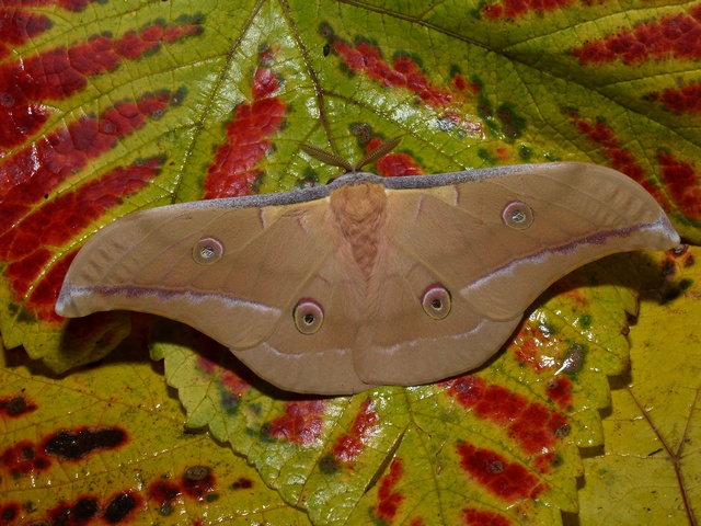 Chinese Tasar Oak Moth (Antheraea pernyi)