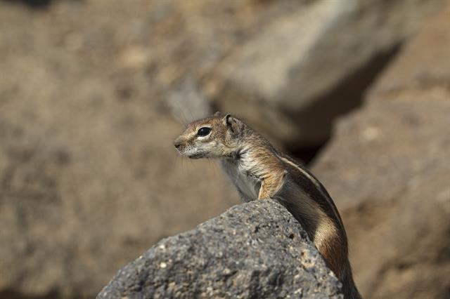 Barbary ground squirrel (Atlantoxerus getulus) photo