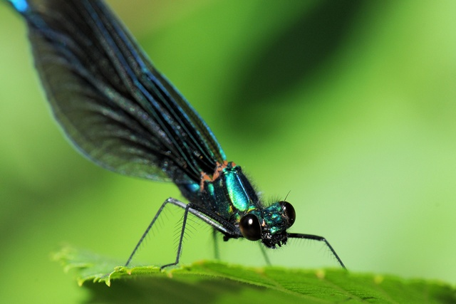 Beautiful Demoiselle (Calopteryx virgo) photo