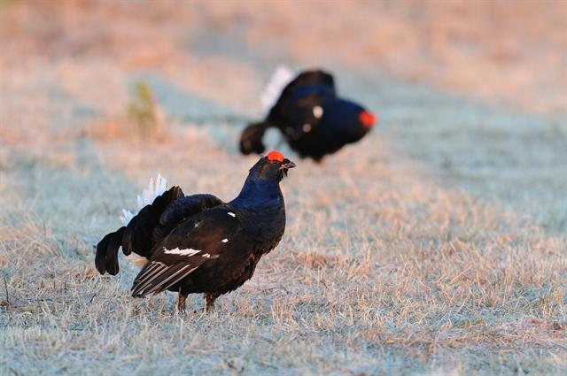 black grouse (Tetrao tetrix) photo