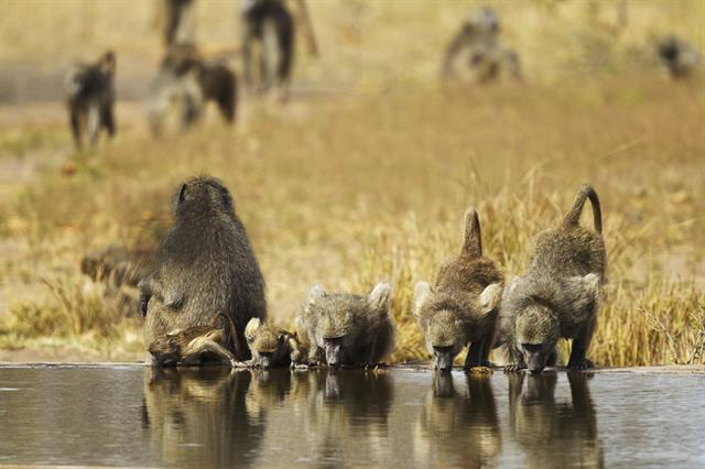 Chacma baboon (Papio ursinus) photo