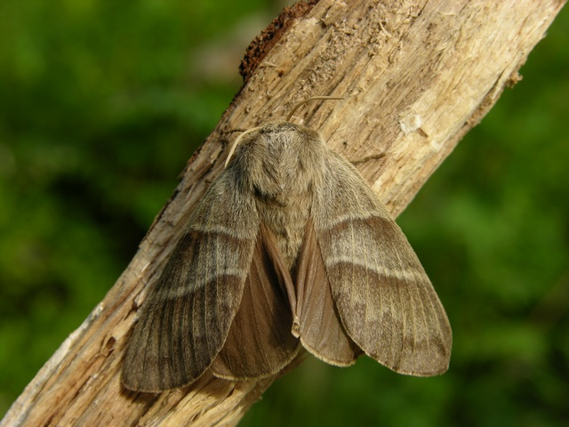 Fox Moth (Macrothylacia rubi) photo