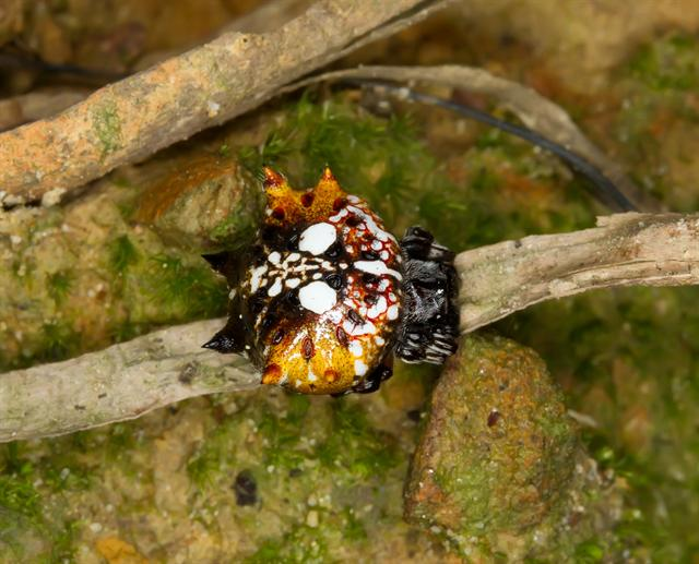 Asian spiny-backed spider (Gasteracantha mammosa)