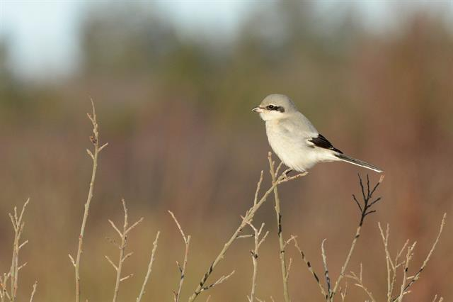 Great Grey Shrike (Lanius excubitor) photo