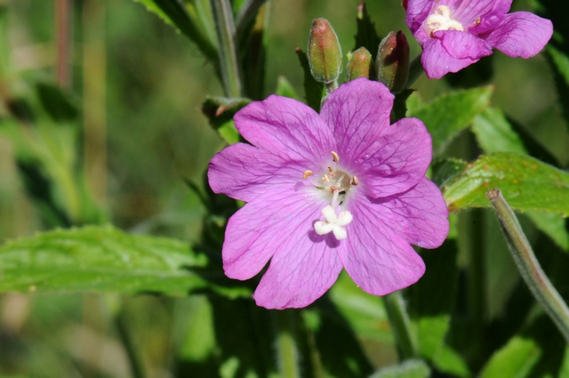 Greater Willowherb (Epilobium hirsutum) photo