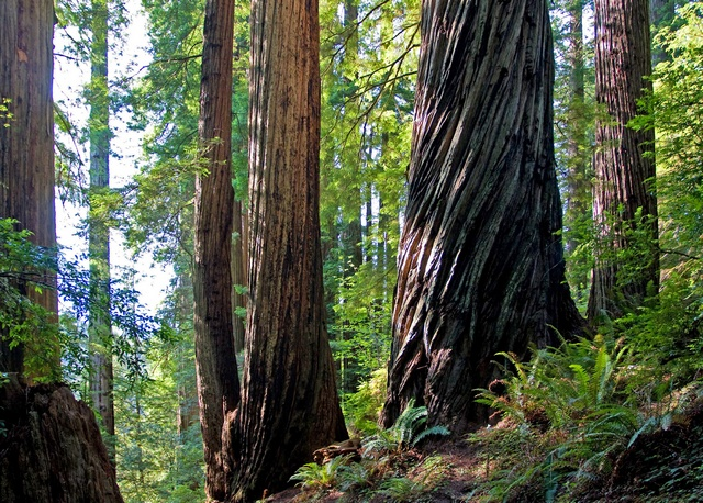 Coast Redwood (Sequoia sempervirens)