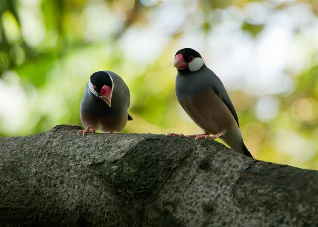Java Sparrow (Padda oryzivora) photo