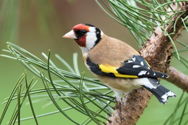 European Goldfinch (Carduelis carduelis)