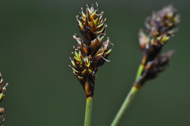 Hare´S-Foot Sedge (Carex lachenalii)