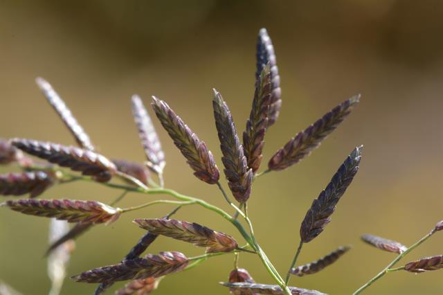 Host Small Love-Grass (Eragrostis minor)