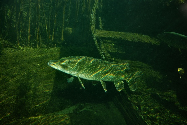 Northern pike  (Esox lucius)