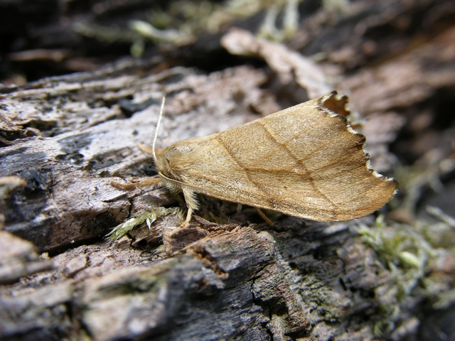 Scalloped Hook-tip (Falcaria lacertinaria)