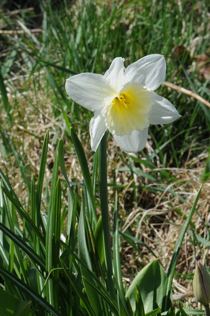 Narcissus (ICE FOLLIES) photo