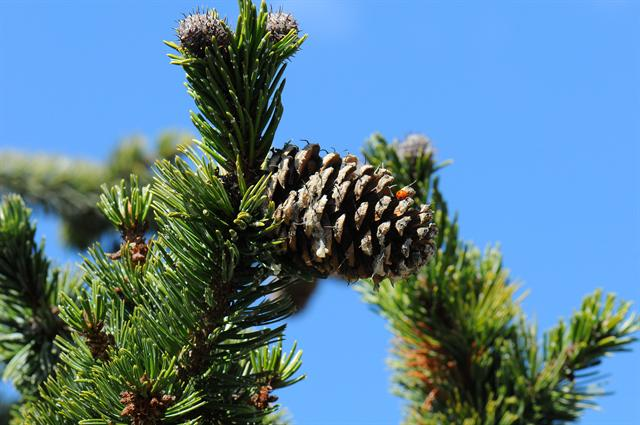 Pinus aristata photo