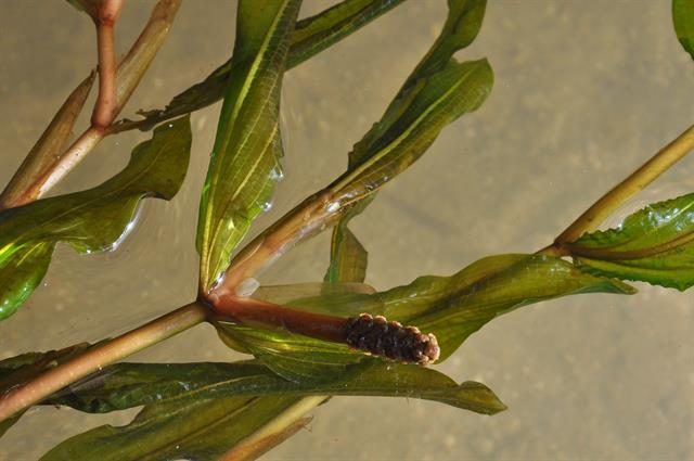 Potamogeton lucens x perfoliatus photo