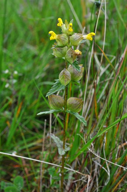 Rhinanthus minor ssp. groenlandicus photo