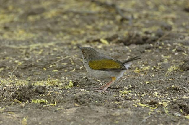 Green-backed Camaroptera (Camaroptera brachyura)