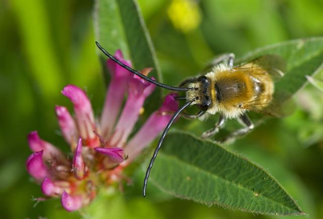 Long-horned Bee (Eucera longicornis) photo