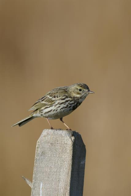 Meadow Pipit (Anthus pratensis) photo