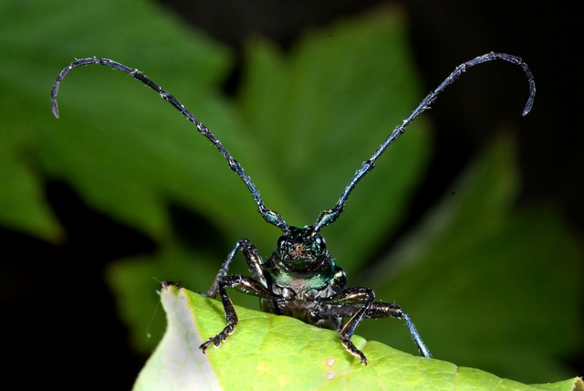 Musk Beetle (Aromia moschata) photo
