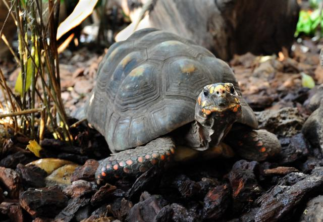 Red-Footed Tortoise (Chelonoidis carbonaria) photo