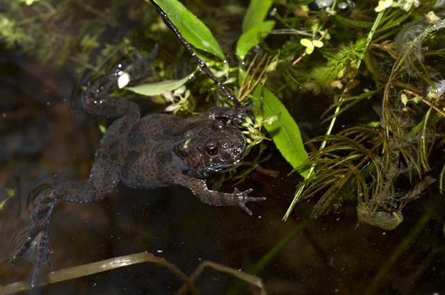 Fire-bellied Toad (Bombina bombina)