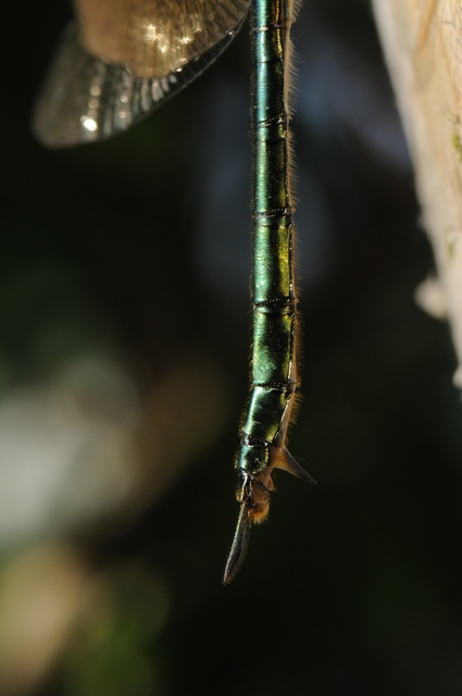 Brilliant Emerald (Somatochlora metallica)
