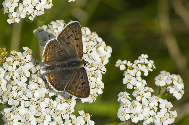 Sooty Copper (Lycaena tityrus) photo