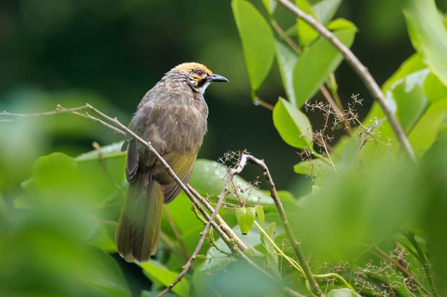 Straw-headed Bulbul (Pycnonotus zeylanicus) photo