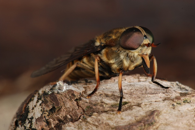 Horse-Fly (Tabanus sudeticus)