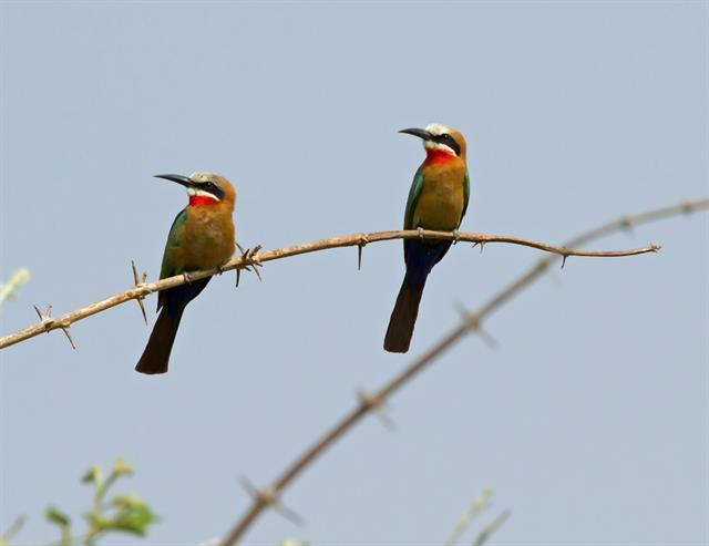 White-fronted Bee-eater (Merops bullockoides) photo
